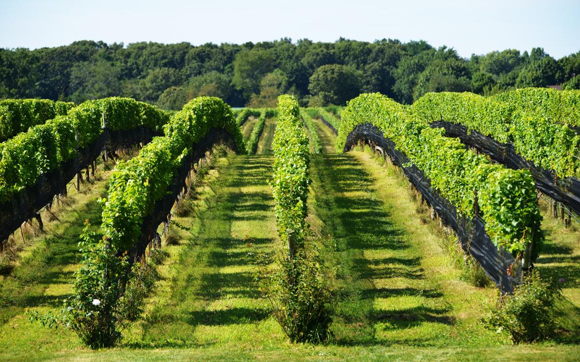 走-拍 长岛的葡萄园,看景,品酒的好地方。_图1-3