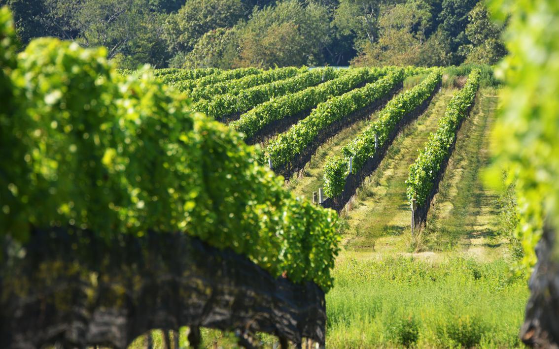 走-拍 长岛的葡萄园,看景,品酒的好地方。_图1-2