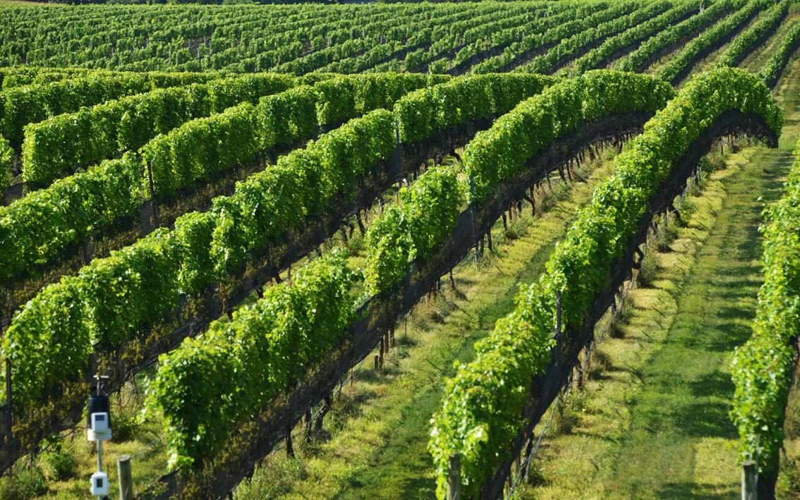 走-拍 长岛的葡萄园,看景,品酒的好地方。_图1-1