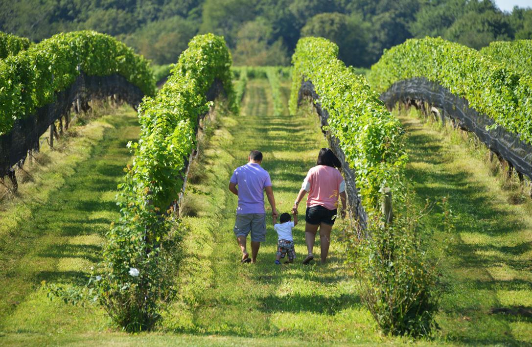 走-拍 长岛的葡萄园,看景,品酒的好地方。_图1-4