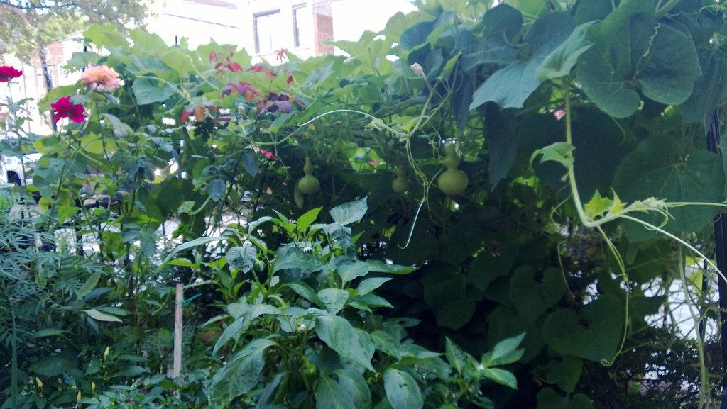 手机实拍:小小菜园~绿色温馨 完美收获_图1-4