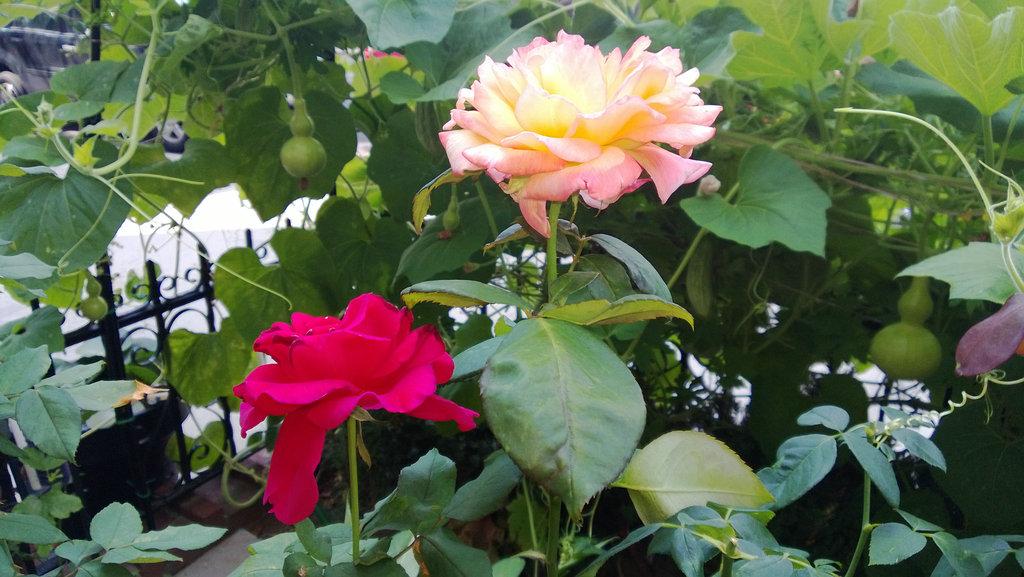 手机实拍:小小菜园~绿色温馨 完美收获_图1-2