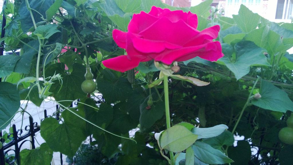 手机实拍:小小菜园~绿色温馨 完美收获_图1-5