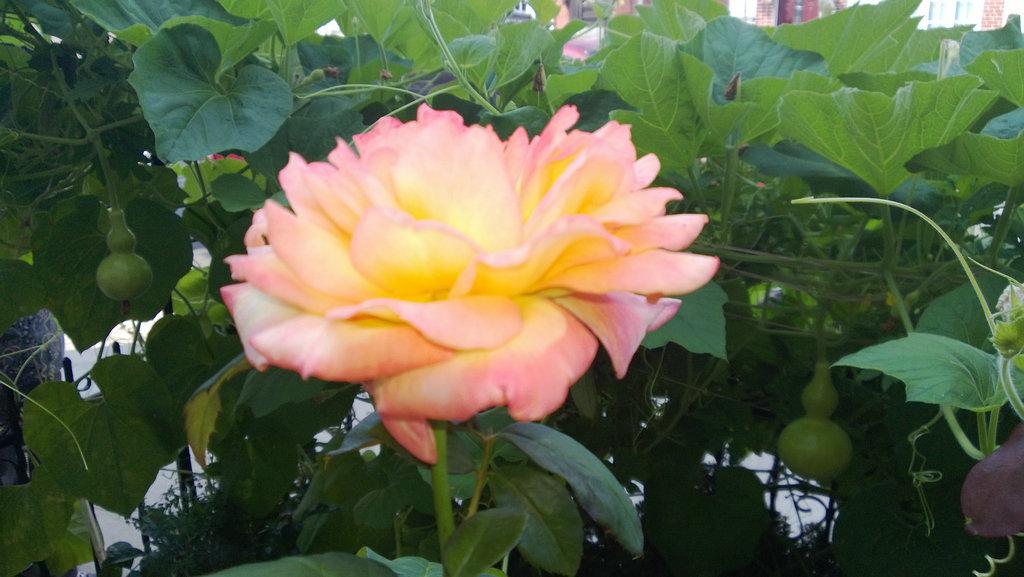 手机实拍:小小菜园~绿色温馨 完美收获_图1-12