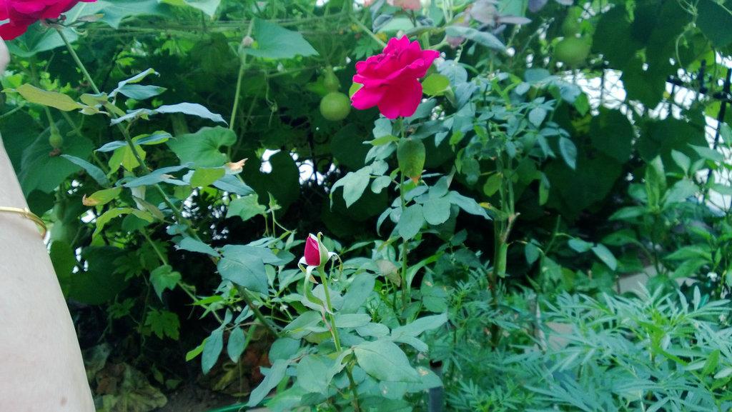 手机实拍:小小菜园~绿色温馨 完美收获_图1-20