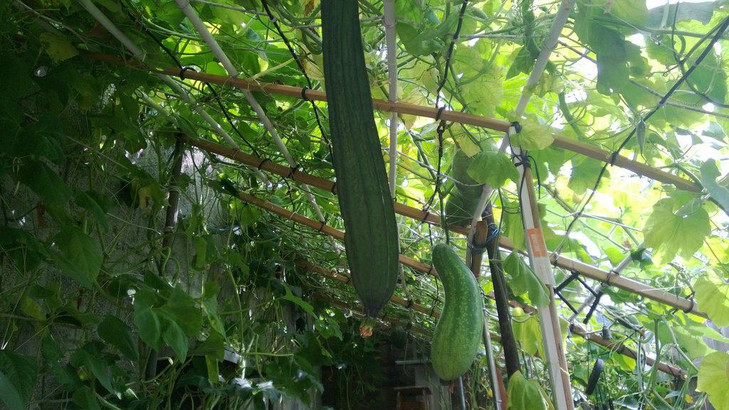 手机实拍:小小菜园~绿色温馨 完美收获_图1-23