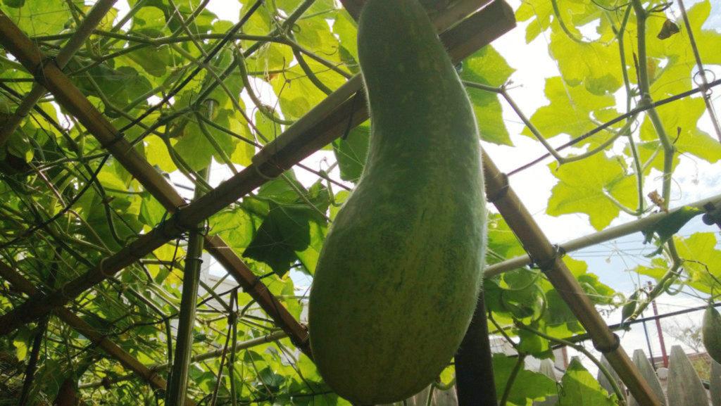 手机实拍:小小菜园~绿色温馨 完美收获_图1-26