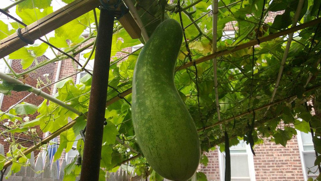手机实拍:小小菜园~绿色温馨 完美收获_图1-29