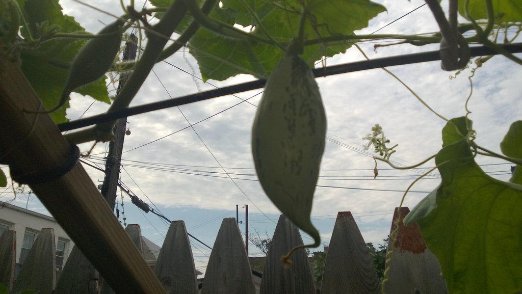手机实拍:小小菜园~绿色温馨 完美收获_图1-35