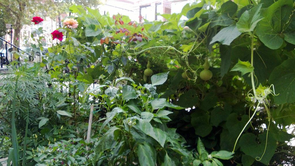手机实拍:小小菜园~绿色温馨 完美收获_图1-43