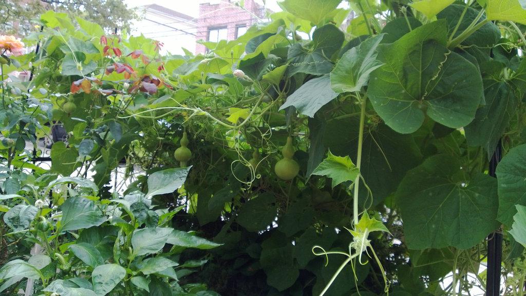 手机实拍:小小菜园~绿色温馨 完美收获_图1-46