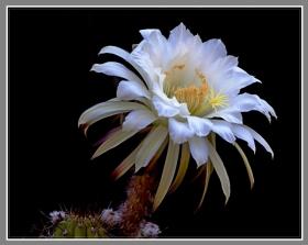 白色的仙人掌花
