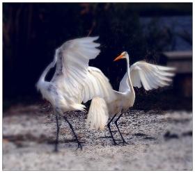 【小虫摄影】舞姿白鹭