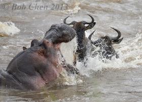[海洋摄影]非洲行之三 河马捕杀角马惊险