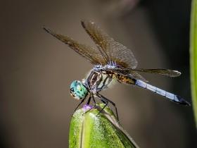 【自由鸟】莲花才露尖尖角,早有蜻蜓立上头