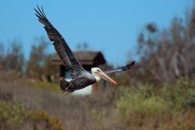 飞行与捕食中的褐鹈鹕