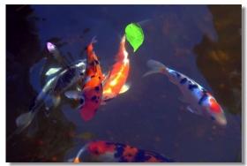锦鲤金鱼戏莲池
