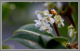 流芳园内的银桂,洁白如玉