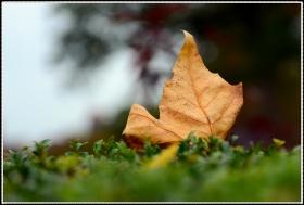 【star8拍攝】深秋之叶