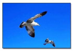天蓝鸥飞舞