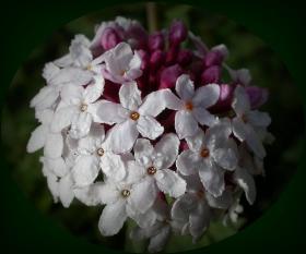 香格里拉的狼毒花