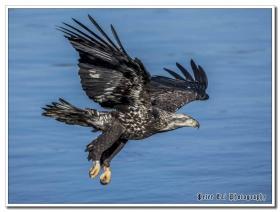 一组鹰抓鱼的定格照