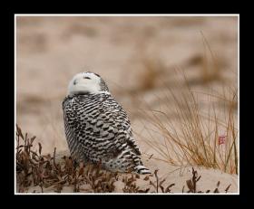 【风】雪鸮,哈利波特的宠物