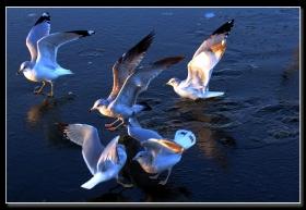 入冬海鸥履薄冰