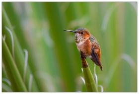 我是一只小小小蜂鸟!( 2 )