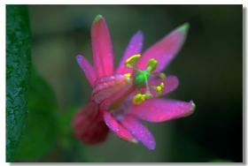 西番莲花与藤