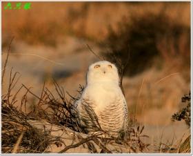 六只眼:卖萌的雪鸮