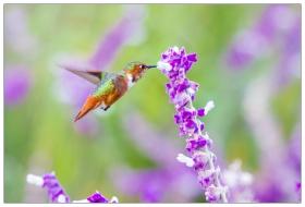 小精灵——蜂鸟