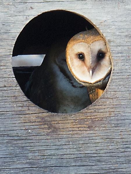美国苯鸟(American Coot) 和 Barn Owl_图1-6