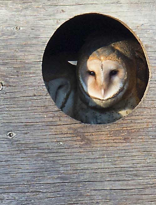 美国苯鸟(American Coot) 和 Barn Owl_图1-8