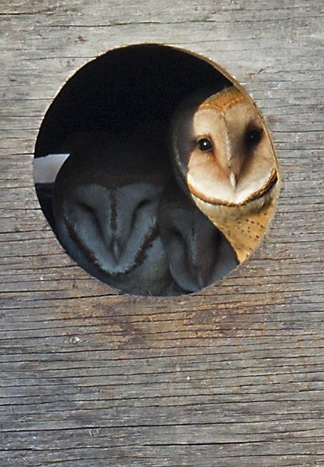 美国苯鸟(American Coot) 和 Barn Owl_图1-7