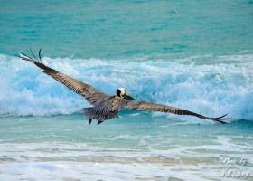 褐鹈鹕 Pelicans