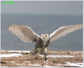 六只眼:风雪中的雪鸮