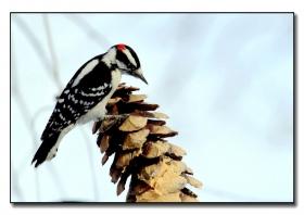 雪天拍啄木鸟