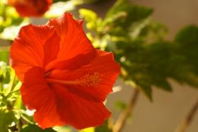 冬日之扶桑花 -- 室内自然光+闪光灯练习