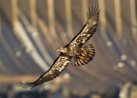 马里兰州CONOWINGO DAM拍白头鹰