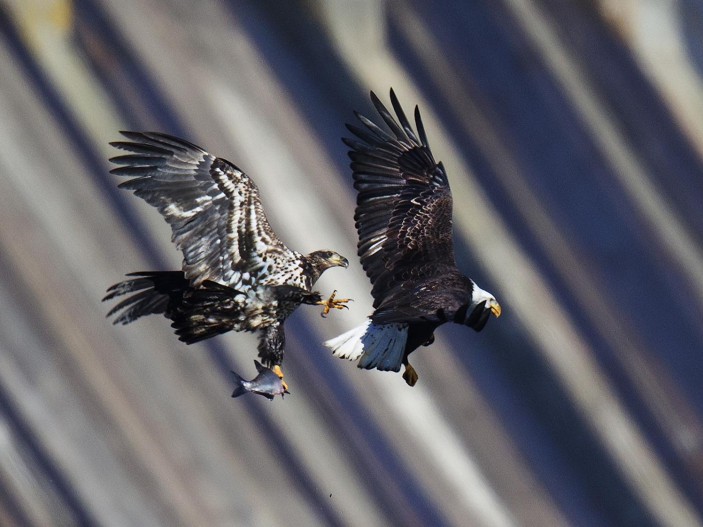 马里兰州CONOWINGO DAM拍白头鹰_图1-3