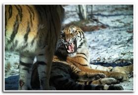 月影 Tiger 100 (1)
