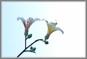白色的木棉花