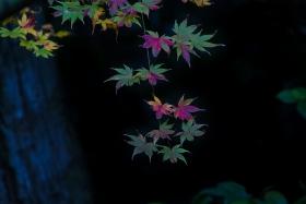 几片日本小枫叶