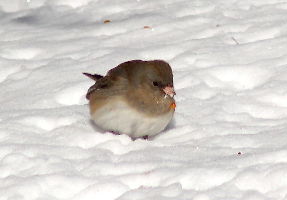 雪后雀_图1-1