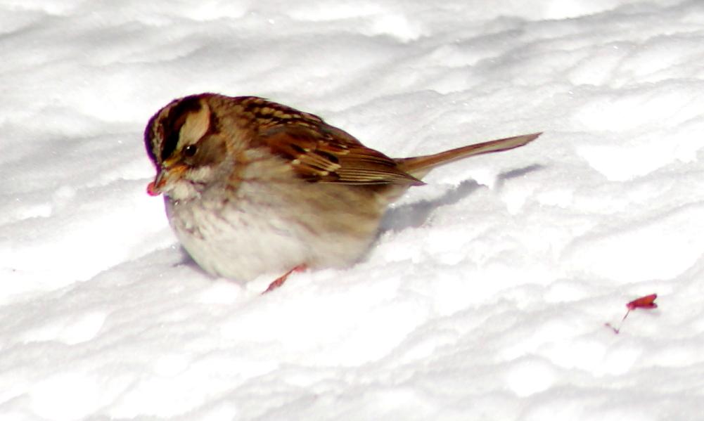 雪后雀_图1-4