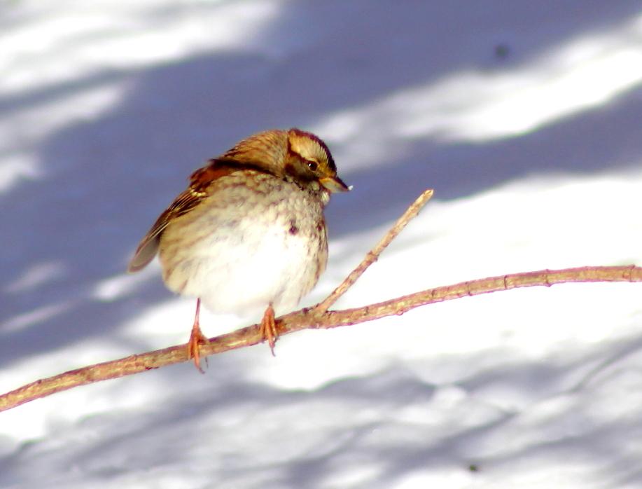 雪后雀_图1-9