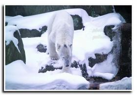 月影 北极熊的新发现