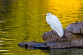 白鹭鸶与大蓝鹭
