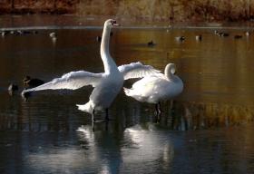 相伴终身的白天鹅